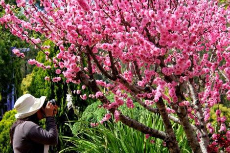 Memotret Bunga Sakura