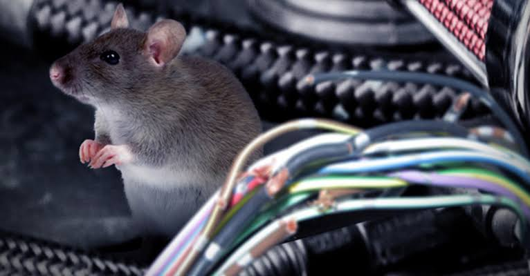 Cara Mengusir Tikus di Kap Mobil Kesayangan